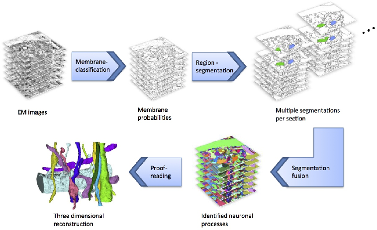 Figure 2 for Large-Scale Automatic Reconstruction of Neuronal Processes from Electron Microscopy Images