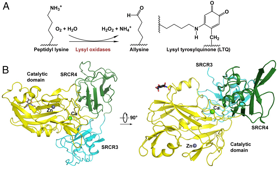 Fig. 1. Overall structure of hLOXL2. (A) The reaction and structure of LTQ. (B) Crystal structure of hLOXL2 (residues 318–774, N455Q). The structure is presented in two perpendicular views. The third and fourth SRCR domains are colored cyan and green, respectively; the catalytic domain is colored yellow. The glycosyl groups at Asn644 are shown as black sticks. Zinc and calcium ions are presented as dark blue and green spheres, respectively. All structure figures were prepared using PyMOL (48).