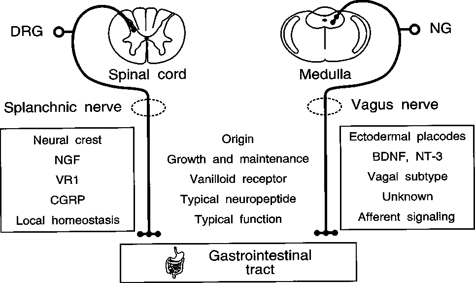 Figure 2 From Ii The Elusive Action Of Capsaicin On The Vagus Nerve