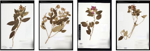 Figure 2 for The Herbarium Challenge 2019 Dataset