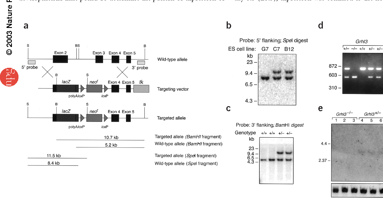 Figure 2 Generation of a null allele of Grhl3. (a) Gene-targeting strategy applied to the mouse Grhl3 locus. The 5′ and 3′ probes used for Southern analysis of the targeted allele are shown. B, BamHI; S, SpeI restriction sites. (b) Southern analysis of two targeted embryonic stem cell clones (C7 and B12) and the parental embryonic stem cells (G7) with the 5′ flanking probe. (c) Confirmation by Southern blot of germline transmission of the targeted allele from cell line C7. (d) PCR genotyping of embryos. Target, product of targeted Grhl3 allele; WT, product of wild-type Grhl3 allele. (e) Northern blot analysis of Grhl3 and Gapd mRNA expression in E14.5 embryos (genotypes as indicated). (f) RT-PCR of E9.5 Grhl3–/– and Grhl3+/– embryos using primers specific for Hprt and Grhl3.