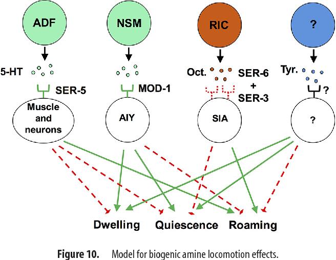 Figure 10. Model for biogenic amine locomotion effects.