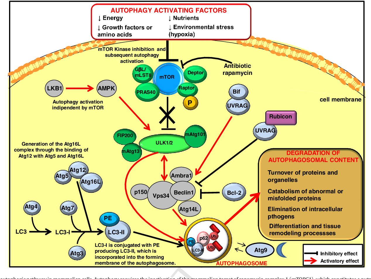 Recent insights on the putative role of autophagy in
