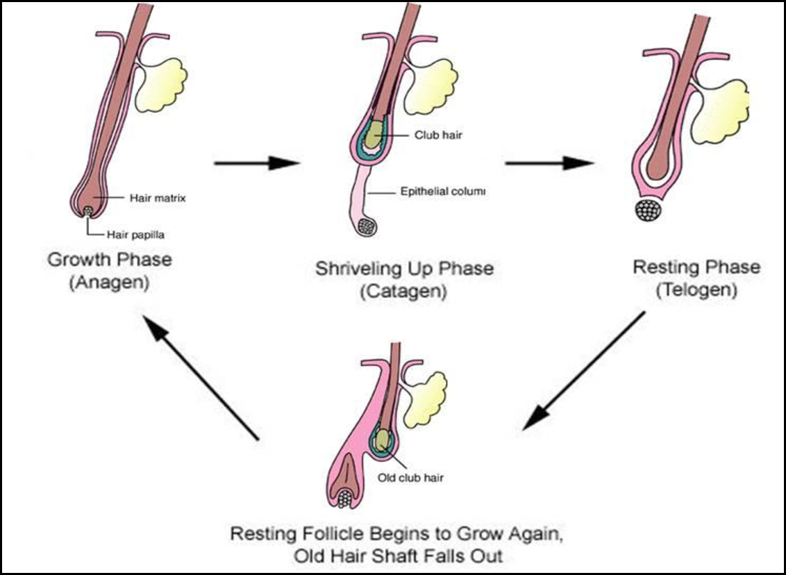 hair growth cycle  diagram represents the successive phases of human hair  growth