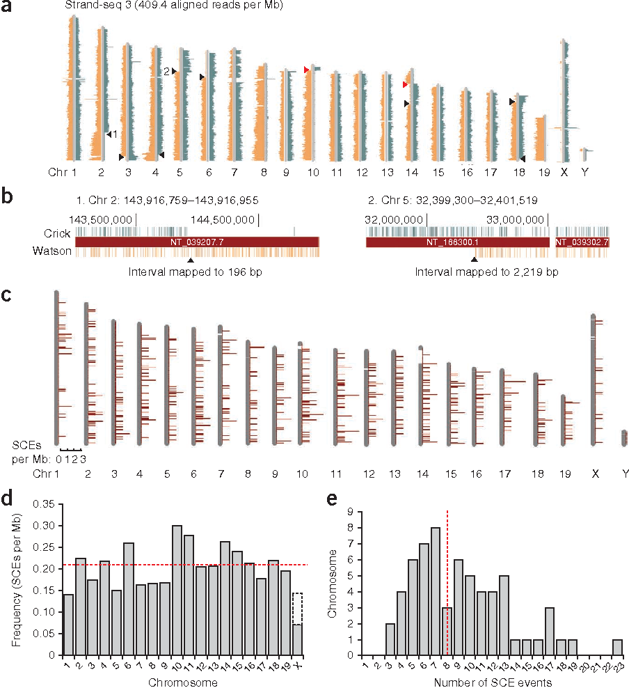 DNA template strand sequencing of single-cells maps genomic ...