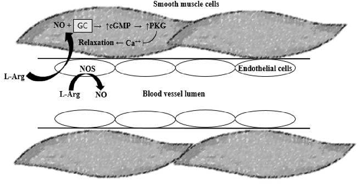 Figure 1.3. Mechanism of blood vessel relaxation induced by NO. L-Arginine (L-Arg) is converted to nitric oxide (NO) via enzyme nitric oxide synthase (NOS) within the endothelial cells. Nitric oxide then diffuses into the smooth muscle cells where it can bind guanylate cyclase (GC), causing an increase in cyclic guanosine monophosphate (cGMP), which then causes an increase in Protein Kinase G (PKG). The increase in PGK reduced intracellular calcium (Ca++) concentrations, allowing for smooth muscle cell relaxation and dilation of the blood vessel.