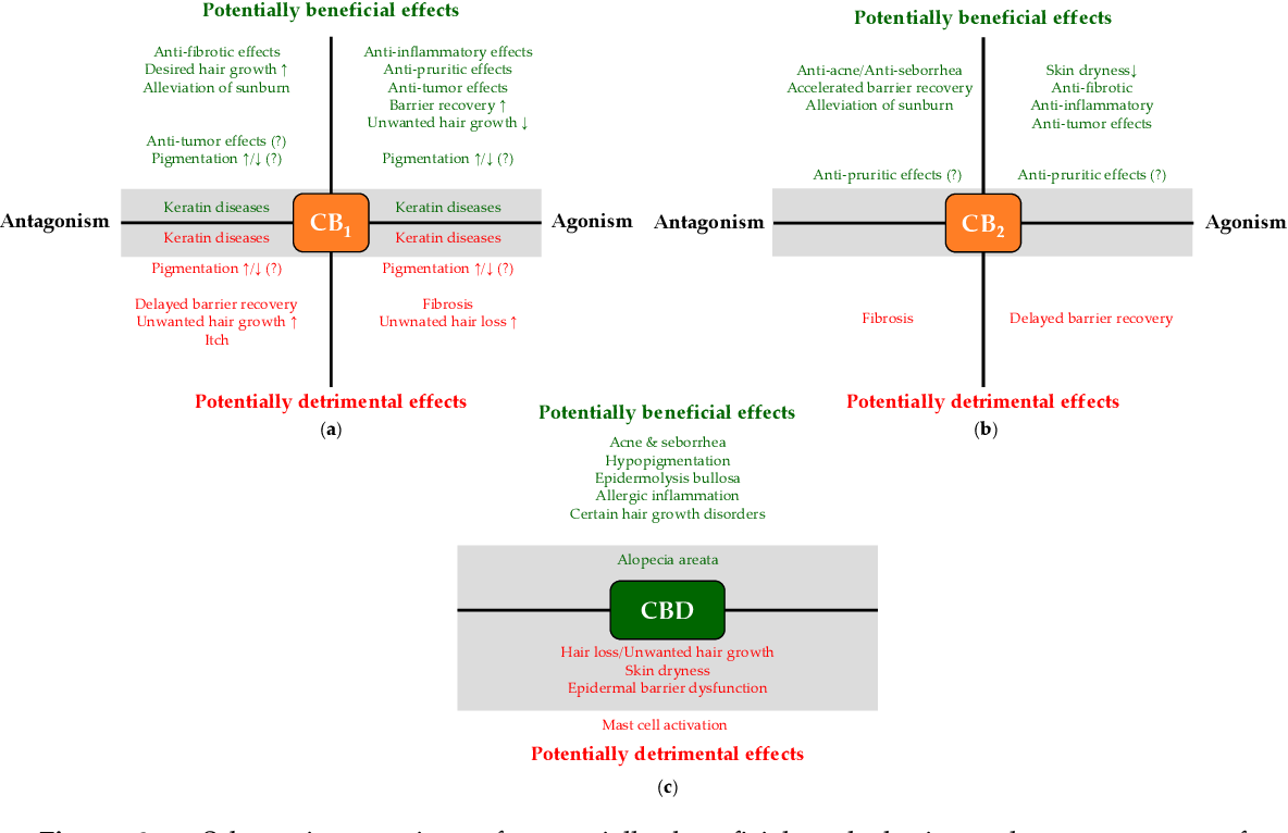 Figure 3. Schematic overview of potentially beneficial and detrimental consequences of pharmacological modulation of CB1 (a) and CB2 (b), as well as of CBD administration (c). Note that certain effects (e.g., promoting hair growth) can context-dependently be considered to be a beneficial (e.g., in hirsutism) or a detrimental (e.g., in alopecia) outcome. Question marks indicate controversial data, whereas gray background highlight unproven effects, which are only hypothesized based on indirect evidence; thus, systematic studies are invited to unveil if they indeed develop.