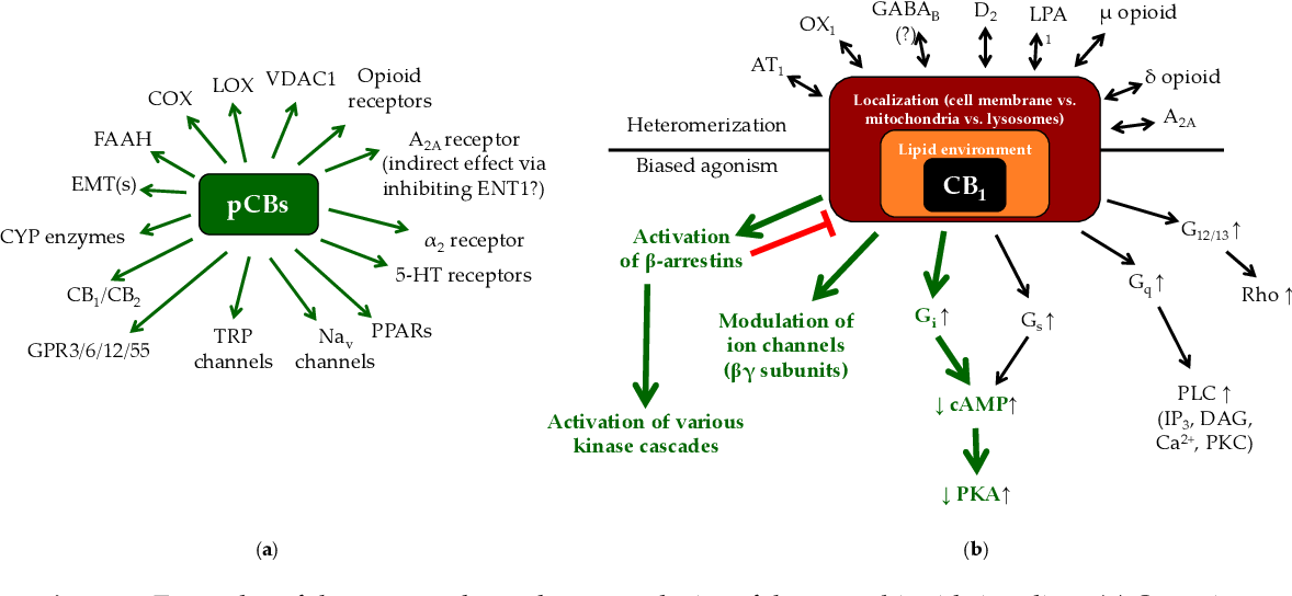 Figure 2. Examples of the context-dependent complexity of the cannabinoid signaling. (a) Overview of the most important potential targets of the phytocannabinoids (pCBs), which can be concentration-dependently activated/antagonized/inhibited by these molecules. Each pCB can be characterized by a unique molecular fingerprint, and every pCB was found to interact with only a subset of potential targets shown on panel (a). Importantly, the interactions can even result in opposing outcomes (e.g., THC is a partial CB1 agonist, whereas CBD is a CB1 antagonist/inverse agonist), making prediction of cellular effects of the pCBs even more difficult. (b) The actual biological response, which develops following the activation of CB1 receptor depends on several additional factors, including biased agonism [31,32,65–73], possible receptor heteromerization [32,74–80], localization (i.e., cell membrane vs. mitochondria vs. lysosomes [81–83]), as well as the composition of the lipid microenvironment of the given membrane [58,84]. Green arrows on panel (b): the most common signaling pathways of CB1. Note that besides CB1, biased agonism is well-described in case of CB2, GPR18, GPR55 and GPR119 as well, whereas CB2 was proven to heteromerize with, e.g., C-X-C chemokine receptor type 4 chemokine receptor (CXCR4), or GPR55 (for details, see the above references). The question mark indicates that functional heteromerization of CB1 and GABAB receptors is questionable. AT1: angiotensin II receptor type 1; CYP: cytochrome P450 enzymes; D2: dopamine receptor 2; EMT(s): endocannabinoid membrane transporter(s); ENT1: equilibrative nucleoside transporter 1; GABAB: γ-aminobutyric acid receptor B; LPA1: lysophosphatidic acid receptor 1; Nav: voltage-gated Na+ channels; OX1: orexin 1 receptor; VDAC1: voltage-dependent anion channel 1. The figure was adapted and modified from [31] originally licensed under CC-BY, version 4.0.