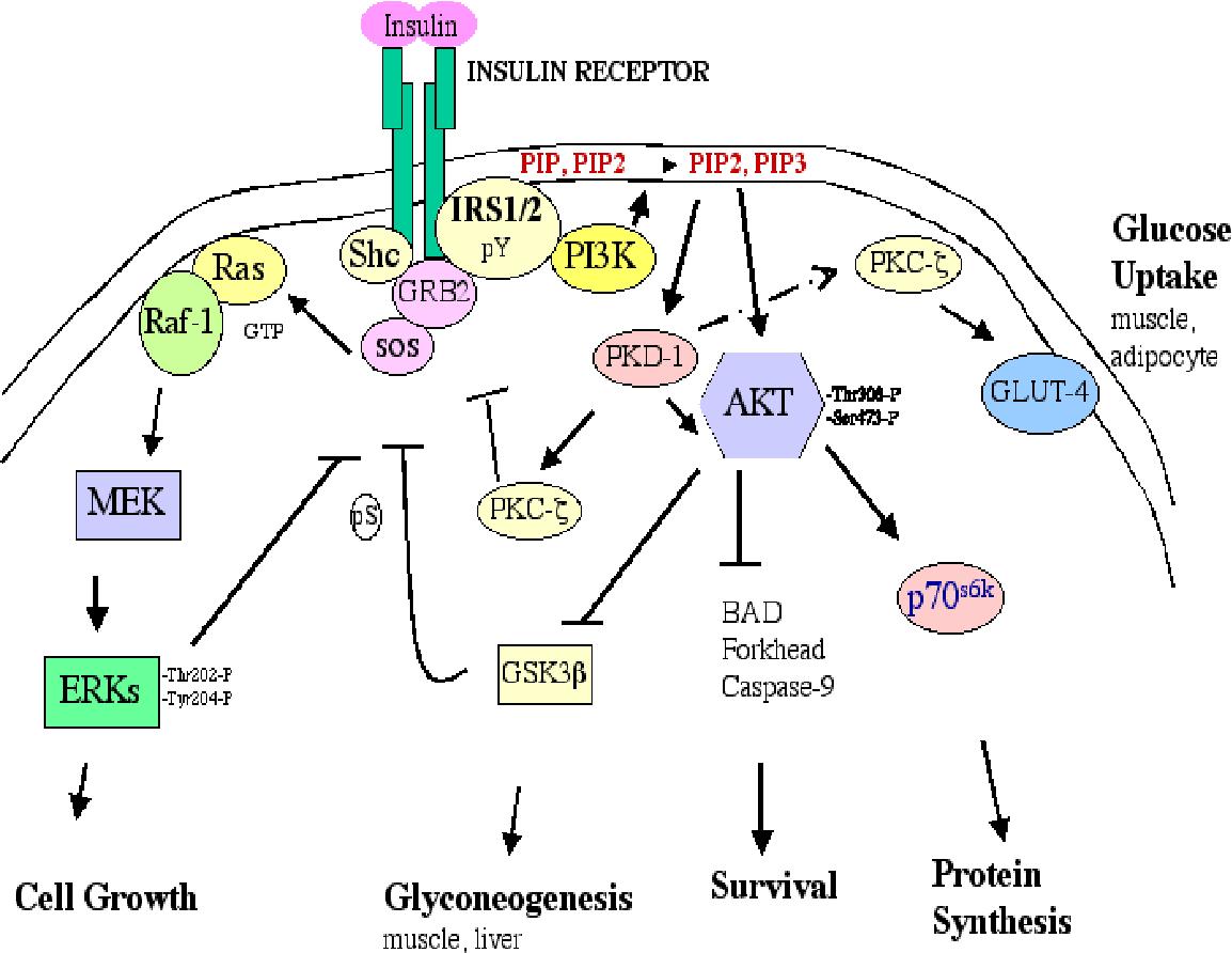 PDF] The Tyrosine Kinase GTK : Signal Transduction and Biological