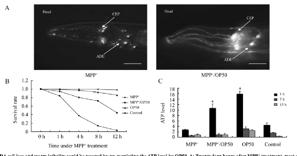 Depleted Atp Levels Causes Neural >> Figure 3 From Atp Depletion Is The Major Cause Of Mpp Induced