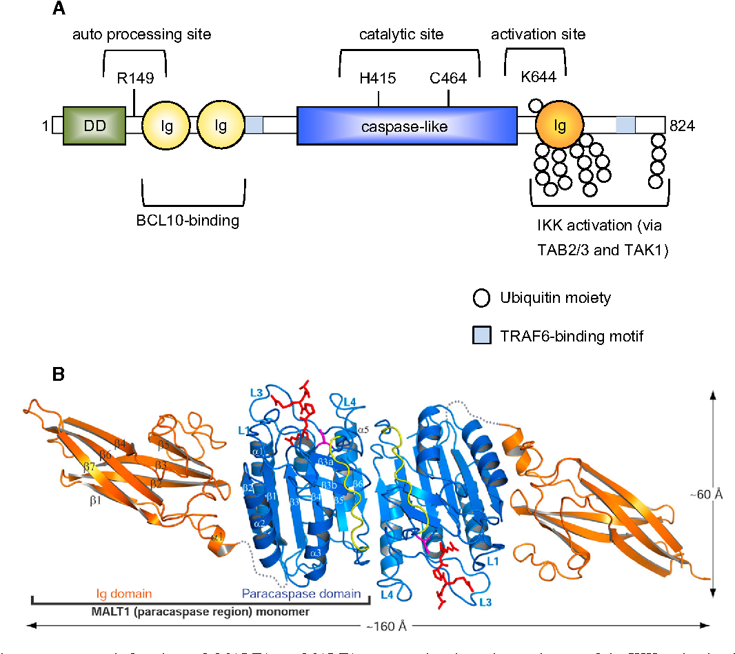 Figure 4 from The paracaspase MALT1: biological function and