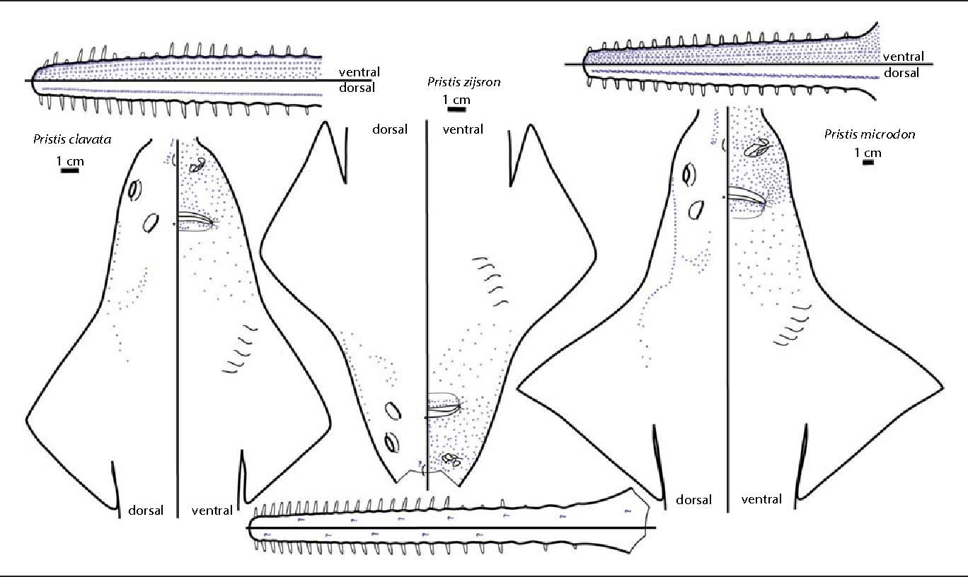 Ampullae Of Lorenzini Diagram - Trusted Wiring Diagram •
