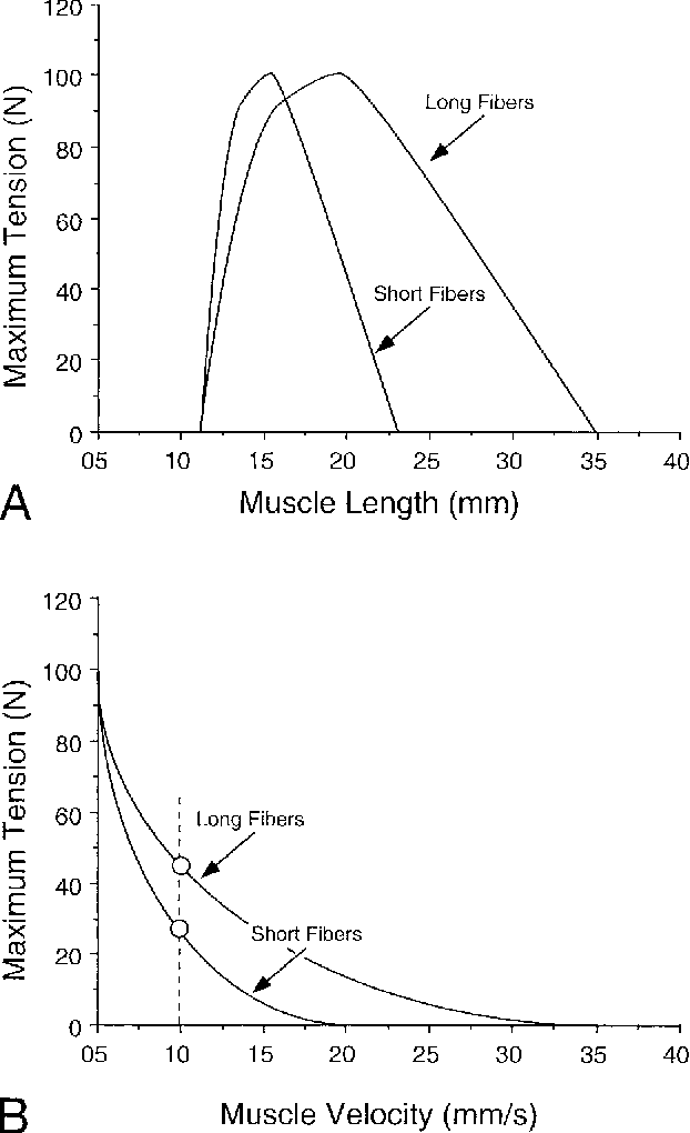 FIGURE 9. Schematic drawing of two muscles with different fiber lengths but identical PCSAs. (A) Comparison of isometric length– tension properties. (B) Comparison of isotonic force–velocity properties. The effect of increased fiber length is to increase the absolute range of the length–tension curve and absolute velocity of the force–velocity curve but with retention of the same peak force and intrinsic shape. Dotted vertical line demonstrates that, for an equivalent absolute velocity, the muscle with longer fibers generates a greater force.