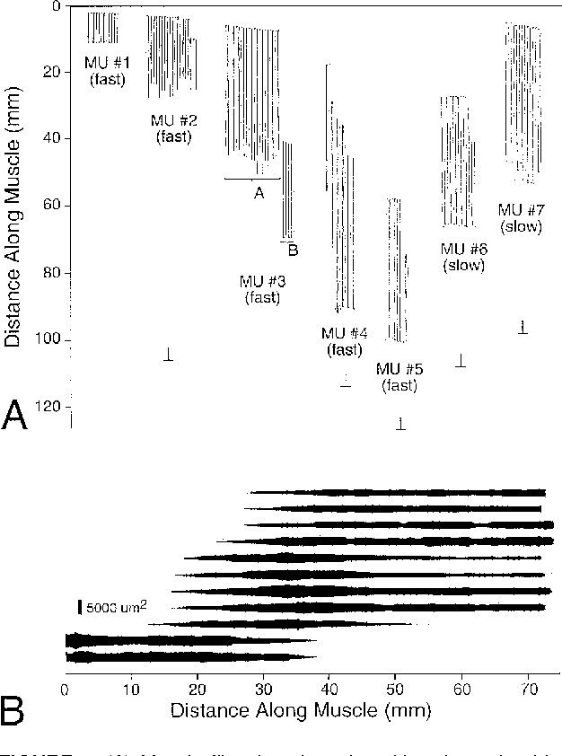 FIGURE 5. (A) Muscle fiber length and position determined by glycogen depletion within seven different single motor units of the cat tibialis anterior muscle. Motor units 1–5 were physiologically typed as fast, and motor units 6 and 7 were physiologically typed as slow. The most proximal end of the muscle is defined as 0 mm, whereas the most distal portion of the muscle is denoted by the ⊥ symbol. Note that some muscle fibers actually begin and end within the muscle fascicle itself. (B) Cross-sectional area of fibers within motor unit 4 shown in A. Note that, typically, fibers taper in ending within the fascicle. (Figure redrawn from Ounjian et al.47)