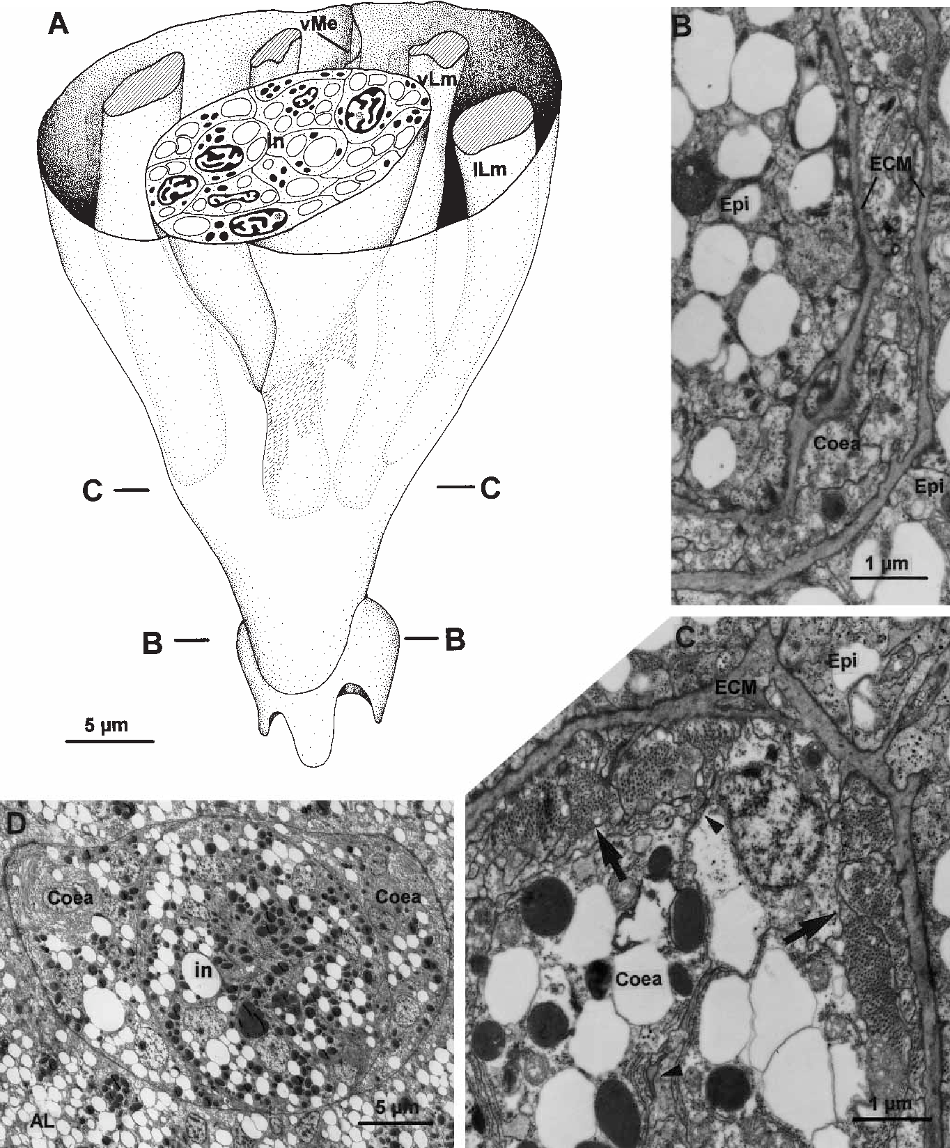 Fig. 4A–D C. inconspicua. Coelomic anlage of the late threelobed stage just before settlement. A Reconstruction of the coelomic anlage in the caudal part of the larva (mesoderm, except muscle strands, and epidermis not shown). B,C Cross-sections of the caudal part of the coelomic anlage, corresponding to the planes (B,C) in A. B Section on the level of the cup-like depression of the pedicle lobe. C The mesodermal cells still contain electron-dense yolk droplets. Notice the pair of ventral longitudinal muscle