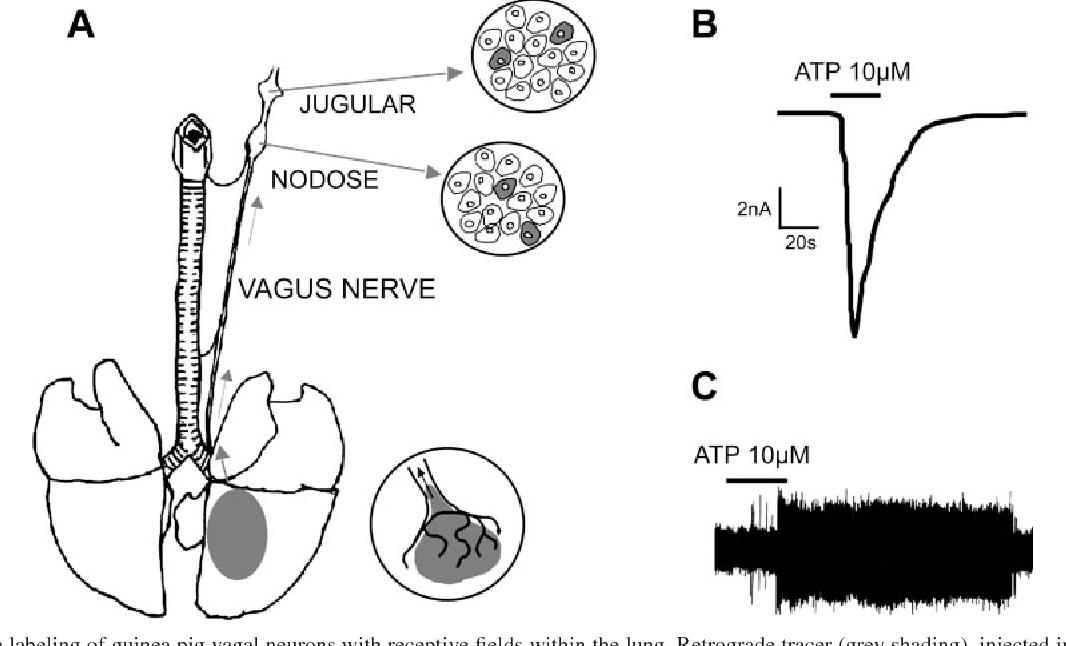 Reflexes From The Lungs And Airways Transduction Mechanisms In