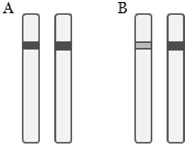 Figure 2: A simplified illustration of a chromosome locus with homozygous (A) and heterozygous (B) alleles.