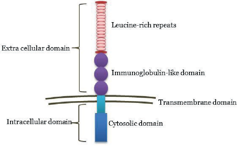 Figure 3: Schematic structure of an LRIG protein. The extracellular part of the protein is the conserved region and there is great variation in the intracellular part. This illustration is based on a study by Holmlund et al. 2004 [138].