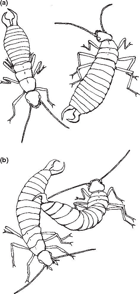 Fig. 2: An agonistic encounter between two male maritime earwigs. (a) The two males align bodies, facing in opposite directions. (b) The attacking male (on right) uses right (curved) forcep to grab the dorsal region of an opponent's abdomen. Illustrations by Christopher Quock.