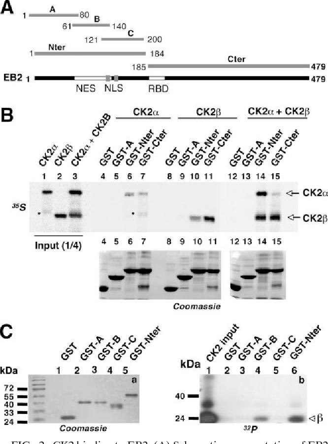 PDF] Protein kinase CK2 phosphorylation of EB2 regulates its