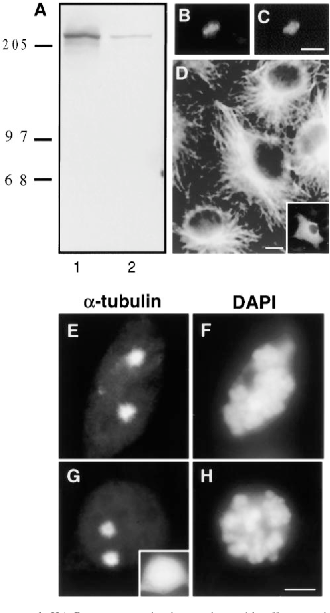 Figure 1. HA-Pc overexpression has no detectable effect on microtubule nucleation or organization. A, Triton X-100 soluble (lane 1) and insoluble fractions (lane 2) of HA-Pc–expressing COS-7 cells immunoblotted with anti-HA antibodies. Detergent extracted COS-7 cell showing centrosome-associated HA-Pc (B), which colocalizes with g tubulin (C). Microtubule organization in a pericentrin-expressing interphase cell (D, inset) is similar to surrounding control cells. The extent of microtubule regrowth from prometaphase centrosomes after nocodazole-induced depolymerization is similar in an HA-Pc–expressing cell (G and H) and a control cell (E and F). Inset in G, HA stain. DAPI staining shows prometaphase chromosomes (F and H). Note that individual microtubules are not easily observed (E and G) after short periods of microtubule regrowth. Bars: (C, for B and C) 1 mm; (D) 5 mm; (H, for E–H) 10 mm.