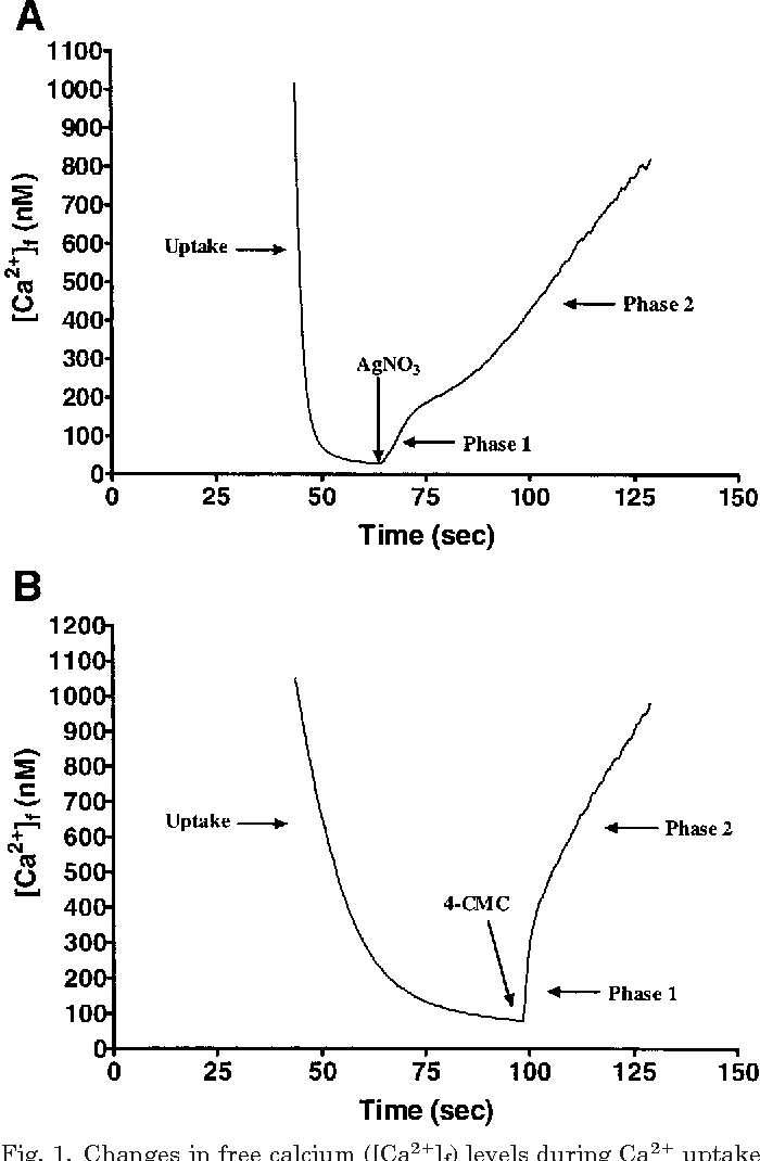 Fig. 1. Changes in free calcium ([Ca2 ]f) levels during Ca2 uptake and during phase 1 and phase 2 of Ca2 release initiated by silver nitrate (AgNO3; A) and by 4-chloro-m-cresol (4-CMC; B). The tracing is from a typical homogenate assay.