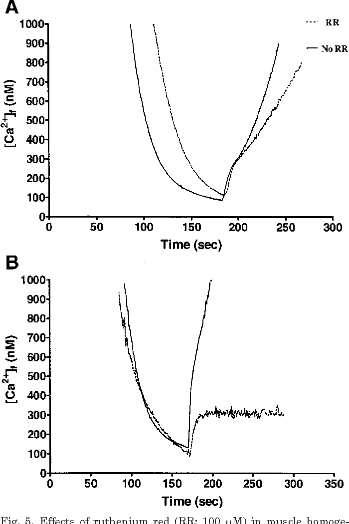 Fig. 5. Effects of ruthenium red (RR; 100 M) in muscle homogenates on Ca2 release kinetics initiated by AgNO3 (A) and by 4-CMC (B). The tracing is from a typical homogenate assay.