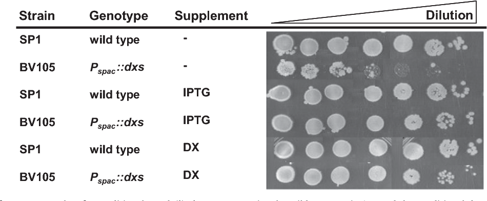 Fig. 6. Complementation of DXP auxotrophy of a conditional B. subtilis dxs mutant strain. The wild-type strain SP1 and the conditional dxs mutant strain BV105 (Pspac::dxs) were grown overnight in LB medium. For the drop dilution assay the cells were grown in LB medium supplemented with 1 mM IPTG. The cells were washed twice in a sterile 0.9% NaCl solution and the OD600 was adjusted to 1.0 to prepare serial dilutions till 10 6. 10 ml of each dilution were spotted on TBAB medium agar plates and TBAB agar supplemented with IPTG (1 mM) or DX (0.5 g/l). The plates were incubated for 24 h at 37 1C.