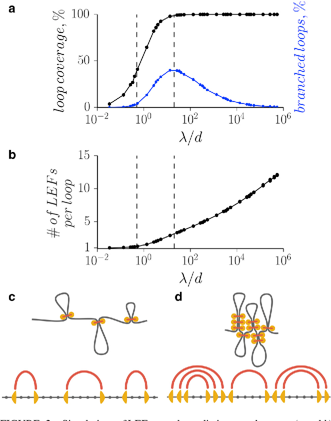 Figure 2 from Chromosome Compaction by Active Loop Extrusion