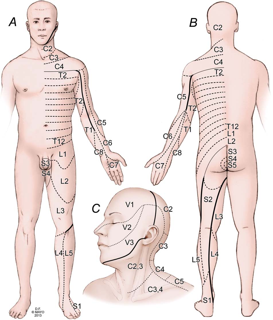 Figure 1 From Mapping Sensory Nerve Communications Between