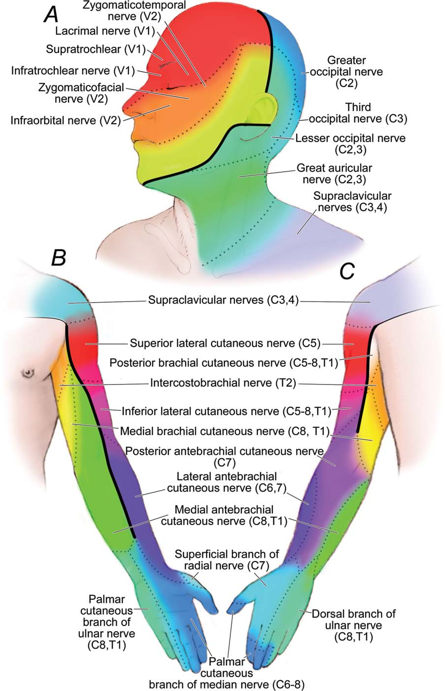 Figure 3 From Mapping Sensory Nerve Communications Between