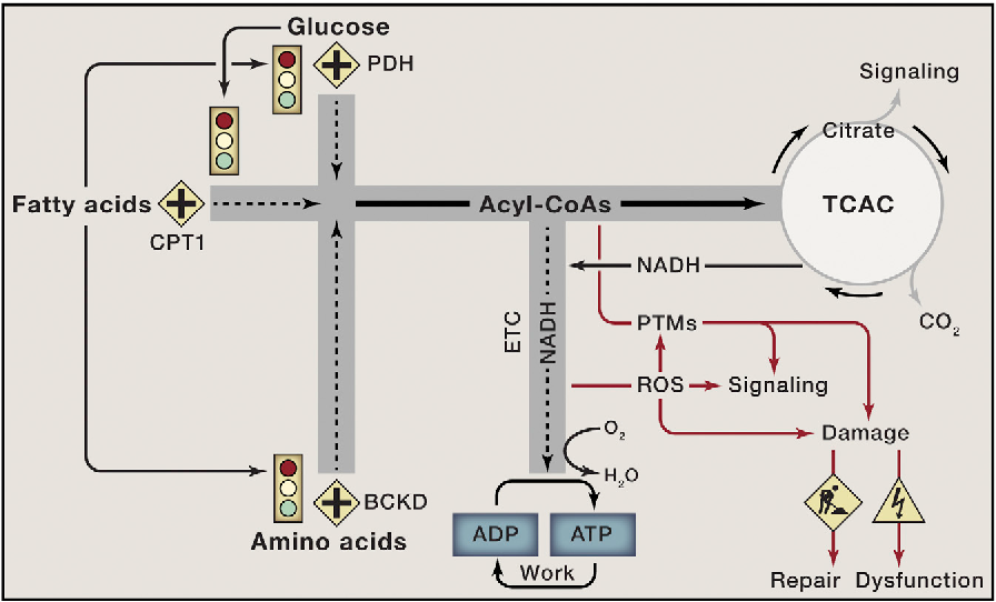 Figure 3. Nutrient Overload Leads to Mitochondrial Gridlock and Cellular Dysfunction