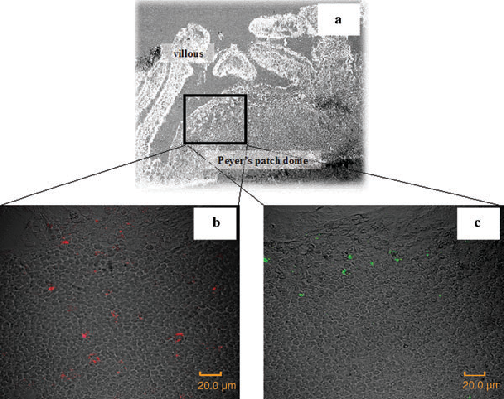 Fig. 3. Cryosections of PP using confocal laser scanning microscope. Lactobacillus GG and L. gasseri TMC0356 (1 × 1010 CFU each) were labeled with 5(and 6)-carboxy fluorescein diacetate succinimidyl ester (CFSE), following which they were given to mice. After 2 hr, cryosections from PP were prepared, and were examined with a confo-
