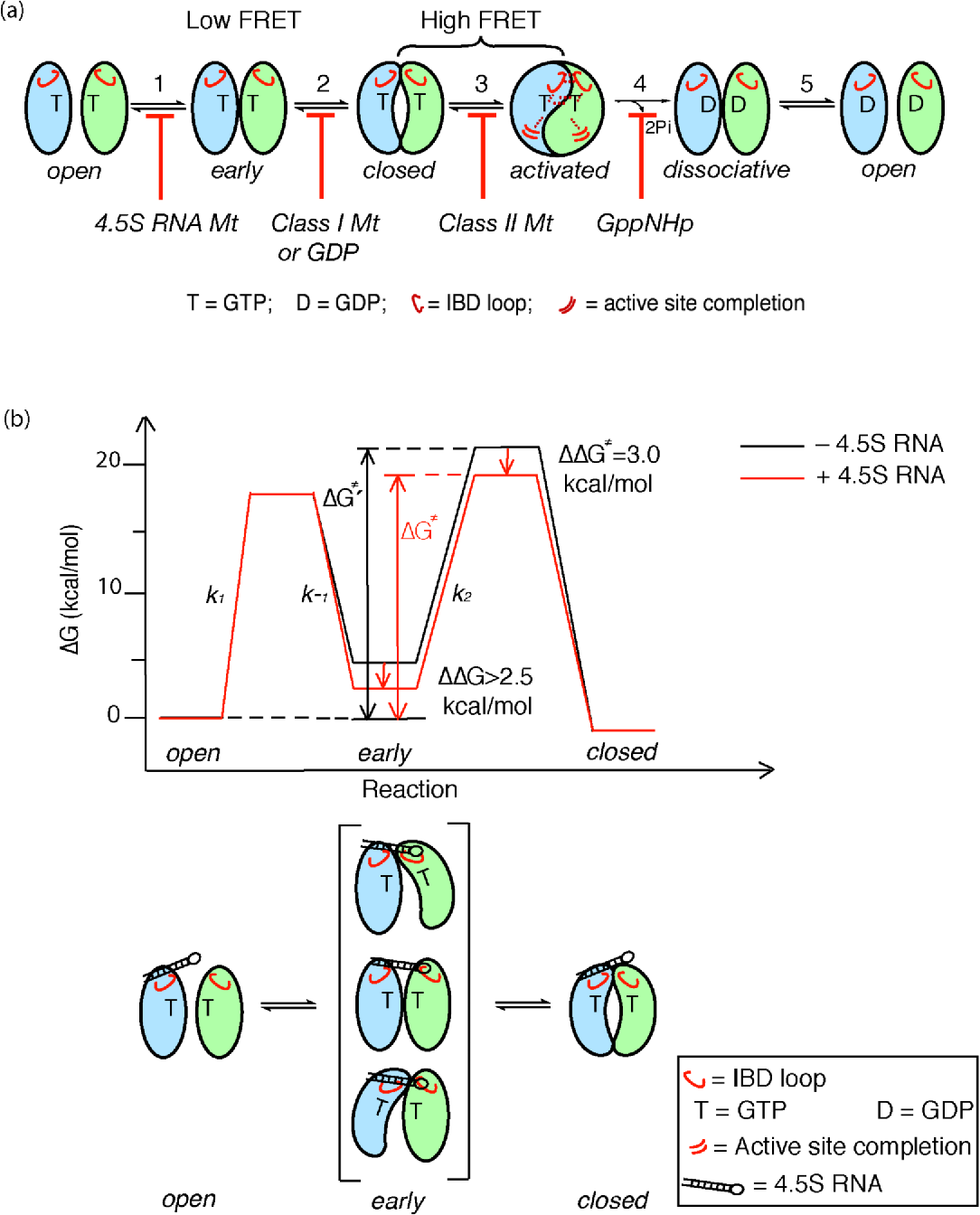 Figure 8. Multiple conformational changes during SRP-SR complex formation and activation