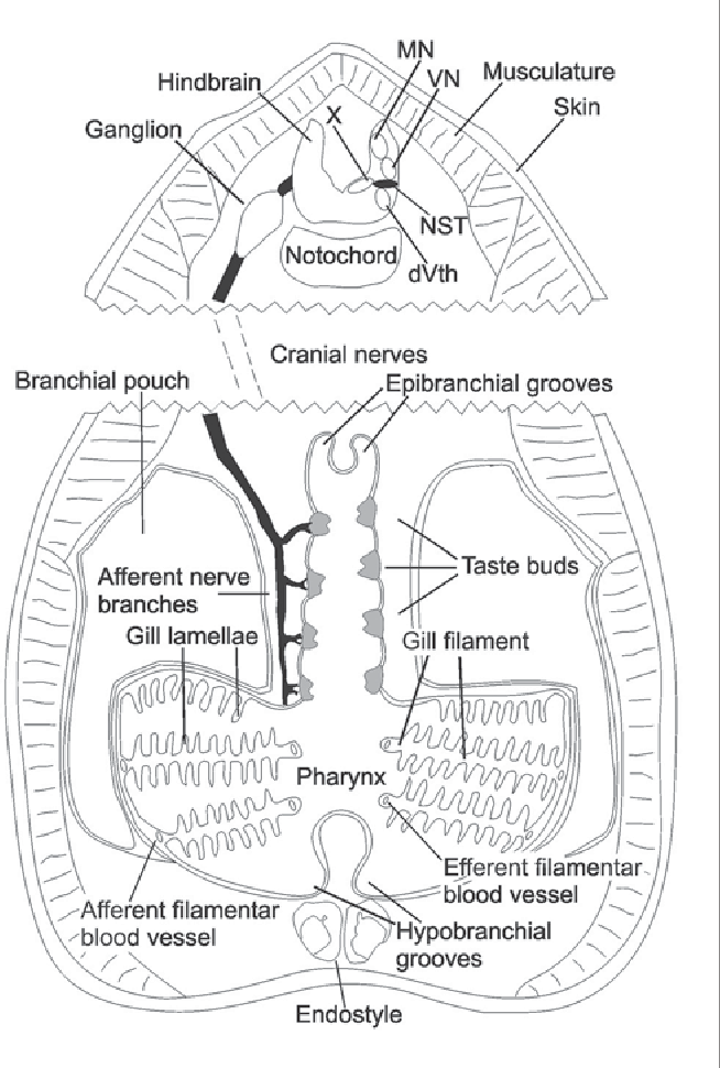 Figure 1 From The Gustatory System Of Lampreys Semantic Scholar