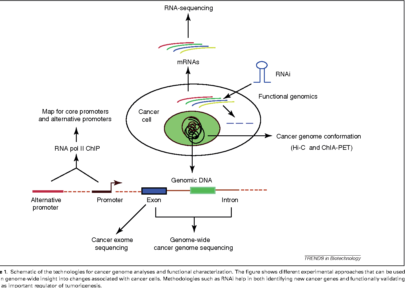 Genetic Discovery Provides New Insight >> Figure 1 From Genome Wide Approaches For Cancer Gene Discovery