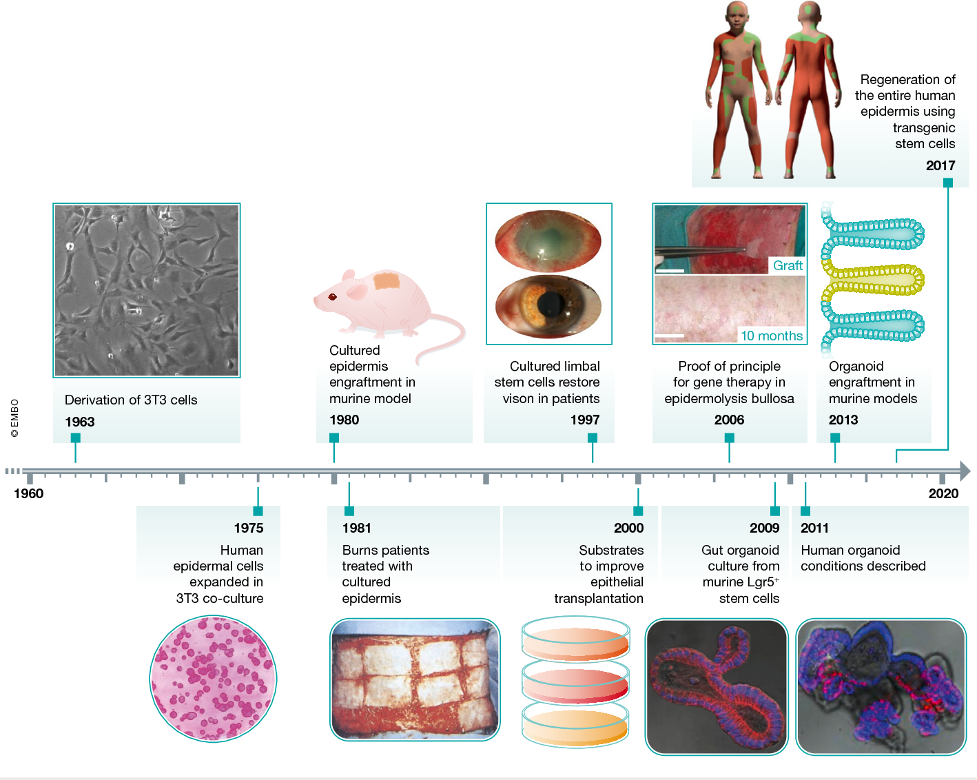 Figure 1 from Regenerating human epithelia with cultured stem cells