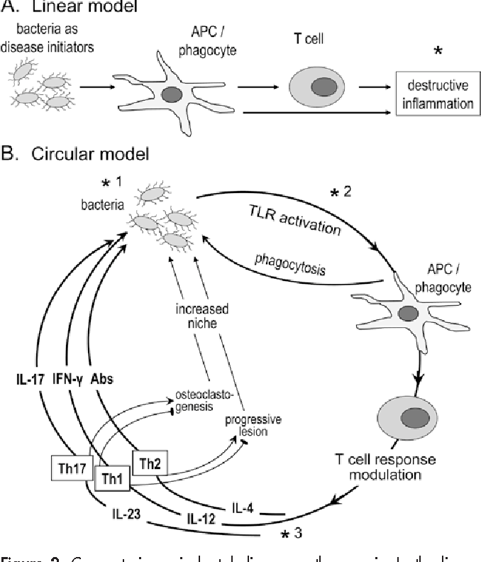 Figure 2 From Hajishengallis In The Context Of Th 17 Cells And Il 17