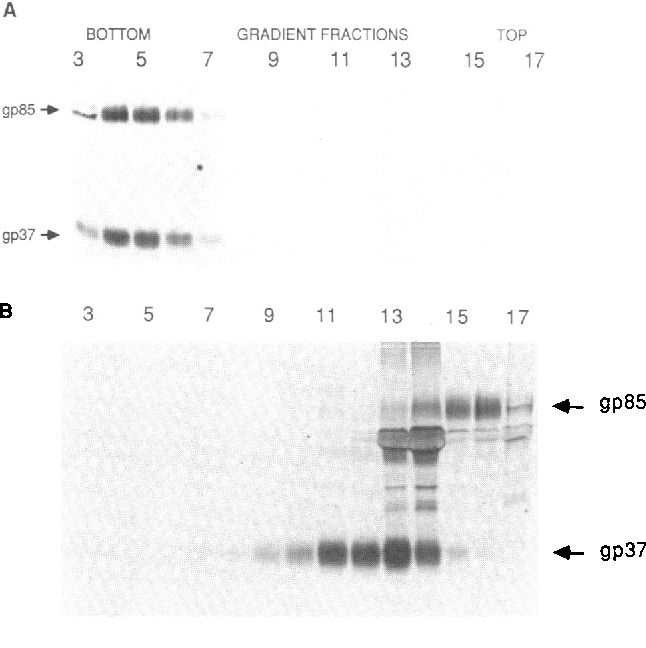 FIG. 6. Gradient fractionation of virion-associated glycoproteins. Primary turkey embryo cells infected with RSV strain PrC were labeled with [3H]leucine. (A) Culture medium was analyzed as in Fig. 1 after a 10-min incubation on ice in octyl glucoside (40 mM). (B) Same as A except that dithiothreitol was added to 30 mM during the lysis step and included in the sucrose gradients at 10 mM.