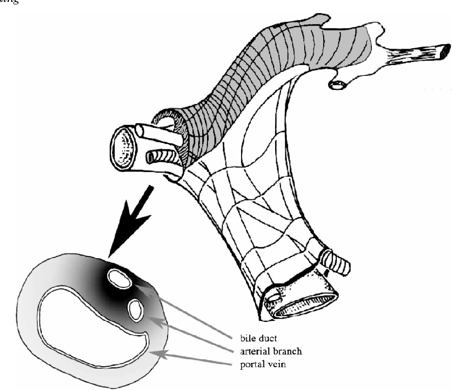 Figure 2 from Surgical anatomy of the biliary tract. - Semantic Scholar