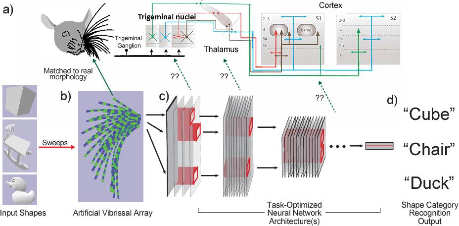 Figure 1 for Toward Goal-Driven Neural Network Models for the Rodent Whisker-Trigeminal System