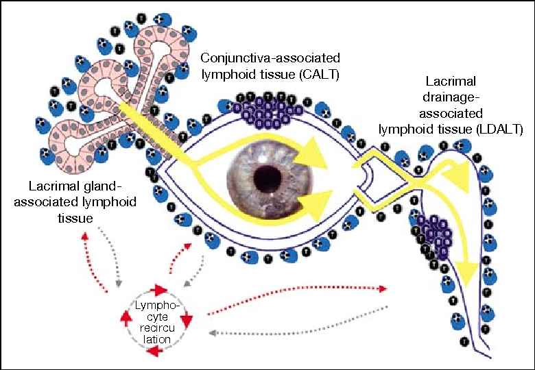 Figure 1 From Anatomy And Immunology Of The Ocular Surface