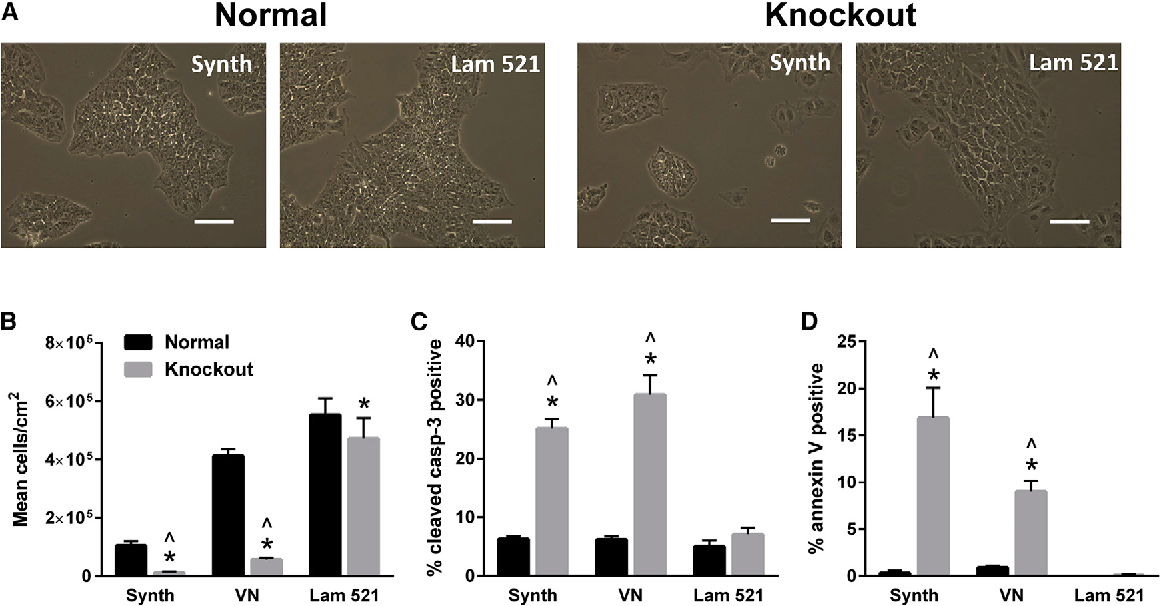 Figure 4. Culture of 19-9-11 LAMA5 Knockout Cells on Laminin-521, but Not Vitronectin, Results in Rescue of Cell Number (A) Bright-field images of wild-type and LAMA5 KO 19-9-11 iPSCs cultured on laminin-521 (Lam 521) or Synthemax (Synth) for 3 days, illustrating differences in cell density. (B) Culture of Cas9-mediated LAMA5 KO 19-9-11 iPSCs on laminin-521 rescued cell number, as indicated by analysis of mean cell density after 5 days of culture on Synthemax, vitronectin, or laminin-521. Cells were initially seeded at 6,600 cells/cm2. (C and D) Apoptosis of 19-9-11 LAMA5 KO cells was also restored to wild-type levels by culture on laminin-521, as indicated by measurement of caspase-3 (C) and annexin V (D) via flow cytometry after 5 days of culture. Scale bars, 100 mm. *p < 0.001 versus wild-type 19-9-11 iPSCs cultured on the same substrate, p̂ < 0.001 versus knockout cells cultured on laminin-521 (n = 3 independent samples/condition). Data are presented as mean ± SD. See also Figure S5.