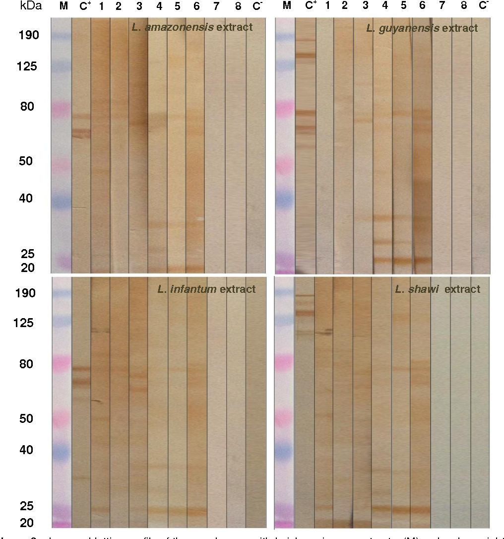 Figure 6 – Immunoblotting profile of the membranes with Leishmania spp. extracts. (M) molecular weight marker; (C + ) positive control; Strip 1, 2 and 3 – Sera from infection by L. infantum; Strip 4, 5 and 6 – Sera from infection by T. cruzi;