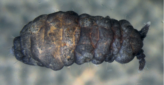 Figure 10 from Annotated checklist of the springtails