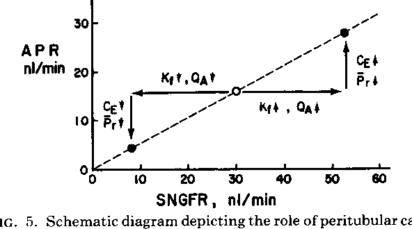 Nephron adaptation to renal injury or ablation semantic scholar figure 5 ccuart Images