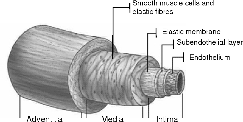 Figure 2 Schematic illustration of the arterial wall layers.