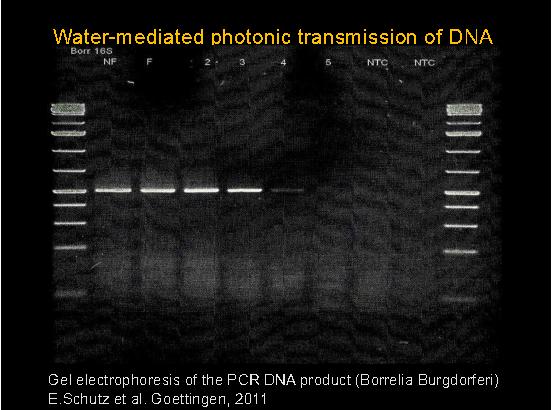 В една от научните си статии Монтание твърди, че успешно  е прехвърлил генетична информация от бактерията Borrelia  sp. в епруветка с вода чрез нейните вибрации и това се доказва чрез положителна PCR реакция. Достоверността на изображението подлежи на съмнение.