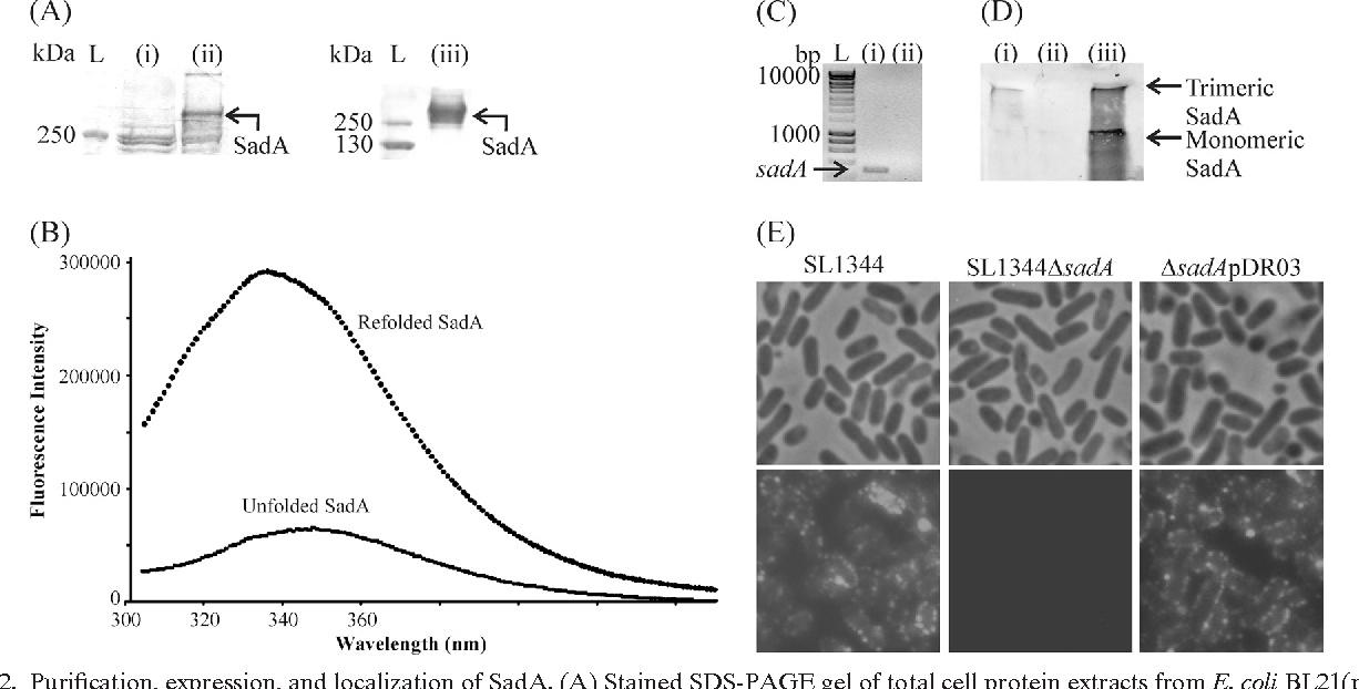 FIG. 2. Purification, expression, and localization of SadA. (A) Stained SDS-PAGE gel of total cell protein extracts from E. coli BL21(pET22b) (i) and E. coli BL21(pDR01) (SadA ) (ii) and the protein sample after electroelution and purification (iii). L, PageRuler Plus protein ladder. (B) Tryptophan fluorescence emission of refolded SadA. An excitation wavelength of 280 nm was used, and emission was scanned from 300 to 450 nm with 1-nm increments. (C) RT-PCR gel using sadA specific primers of wild-type S. enterica SL1344 (i) and isogenic sadA mutant (ii) grown in LB at 37°C. L, HyperLadder I (Bioline). (D) Western immunoblot analysis using SadA-specific antibody from outer membrane preparations of wild-type S. enterica SL1344 (i), mutant S. enterica SL1344 sadA (ii), and complemented S. enterica sadA(pDR03) (iii). (E) Localization of SadA on the cell surface. S. enterica SL1344, S. enterica SL1344 sadA, and S. enterica sadA(pDR03) were probed with anti-SadA antibody followed by GAR Alexa Fluor 488. Phase-contrast and fluorescence micrographs demonstrate labeling of the wild-type and complemented strains but not the mutant strain. Two control experiments were performed in which SL1344 was treated with secondary antibody only or a different primary antibody followed by the secondary antibody to rule out binding to immunoglobulins. Neither control had any labeling (not shown). Scale bar, 0.5 m.