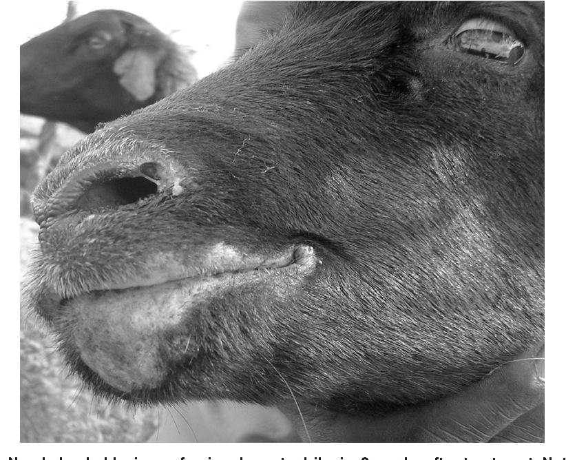 Figure 5 from Atypical dermatophilosis of sheep in Kenya